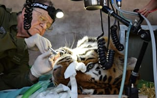 Tiger toothache cured by brave dentist at Bristol zoo