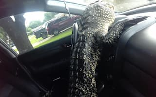 Animal lover returns to car to find alligator in the front
