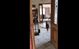 Nosy wallaby wanders around Melbourne home