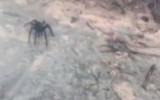 Gigantic spider creeps British tourists in Caribbean