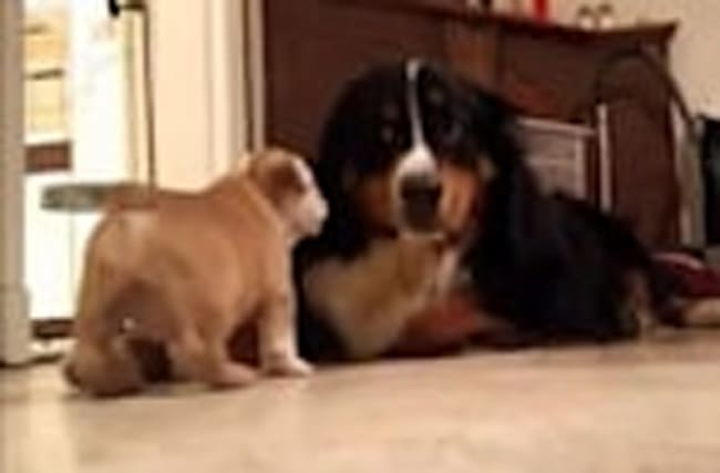 Puppy introduced to big dog, instant friendship occurs