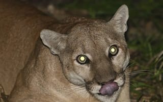 Girl, 4, snatched by mountain lion on camping trip