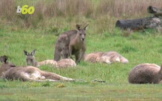 Mating kangaroos block traffic in Australia