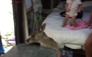 Cheeky kangaroo hops on board family camper van