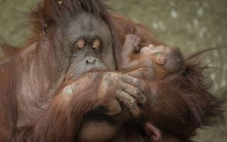 Chester Zoo welcomes beautiful baby Bornean orangutan