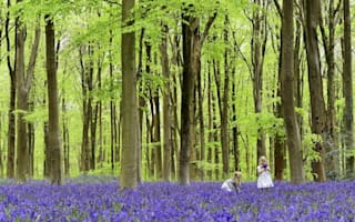 Are bluebells at risk of dying out?