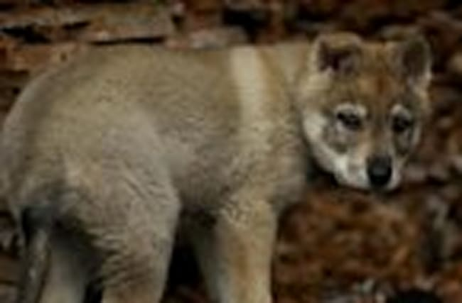 This Adopted Puppy Turned Out to Be a Wolf Dog