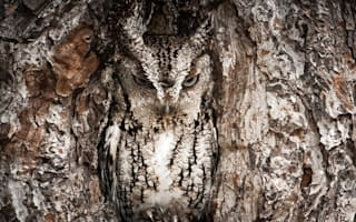 Master of disguise! Owl barely visible nesting in tree