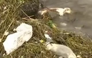 Over 900 pigs found floating in Shanghai river in China
