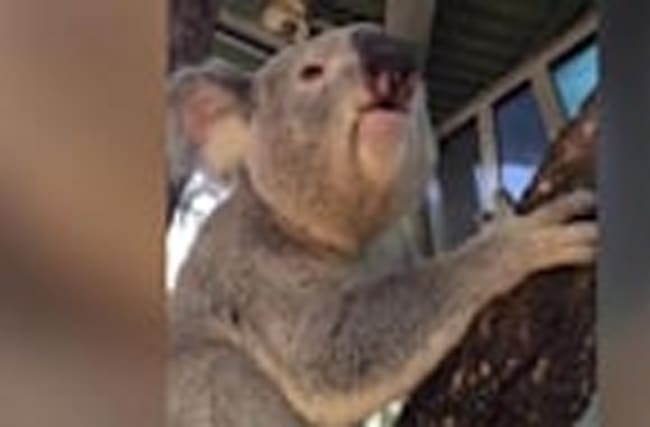 This Koala's Horrifying Mating Call Sounds Like Your Snoring Spouse