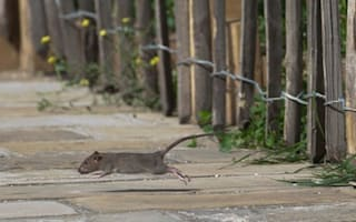 Rat infestation sweeps UK