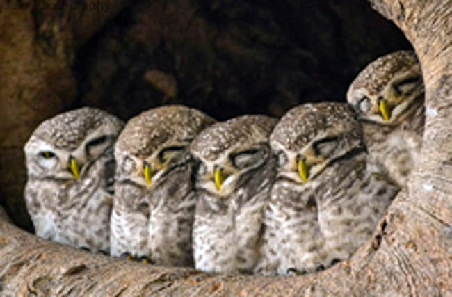 Five baby owls huddle together while sleeping in tree