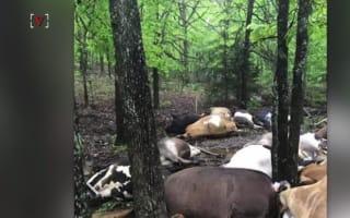 Lightning kills 32 cows in one strike
