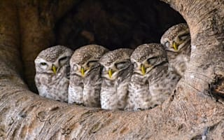 Baby owls snoozing are seriously cute