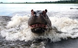 Angry hippo charges terrified tourists on safari in Botswana
