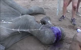 Vets rescue elephant caught in poacher's snare