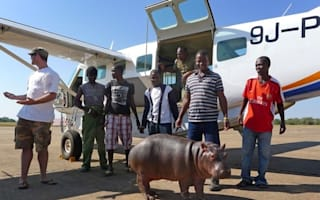 Orphaned baby hippo flown by passenger plane to new home