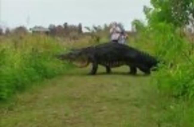 Gator Makes a Commanding Presence