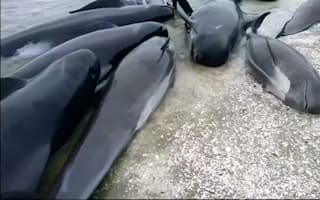 Hundreds of pilot whales stranded on New Zealand beach