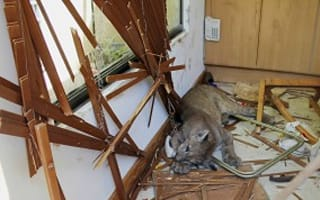 How would you claim house insurance on this? Homeowner finds kitchen destroyed by a puma