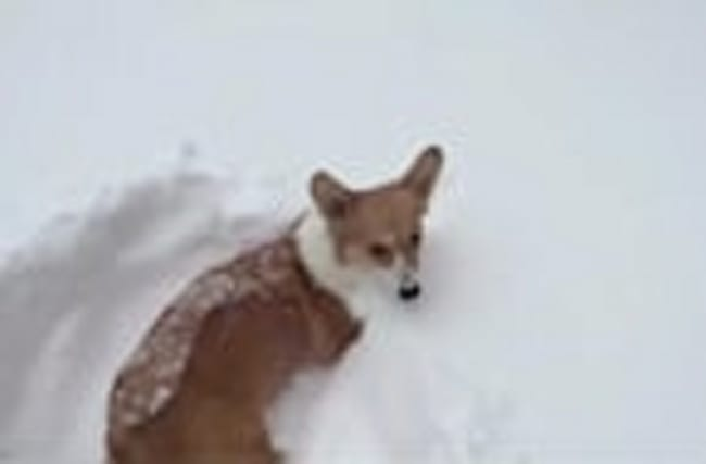 Tiny corgi legs not long enough for deep snow