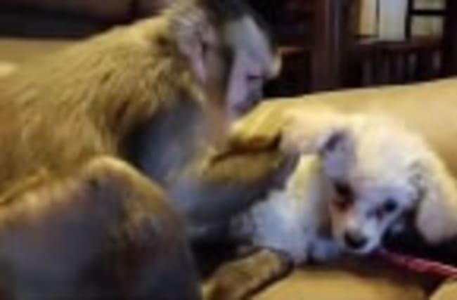 Capuchin monkey meets miniature poodle puppy