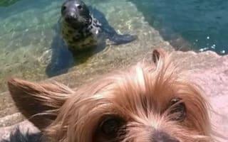 Yorkshire terrier photobombed by seal in Devon
