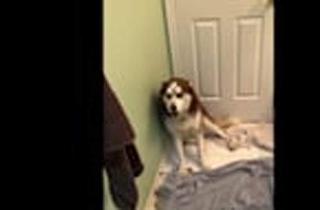 Stubborn husky not too thrilled for bath time