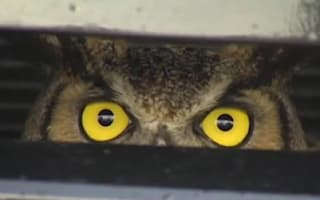 Video: Owl gets stuck in grill of SUV at 60mph