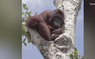 Orangutan pictured clinging to tree after home is destroyed