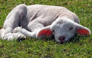 Campers horrified after teen kills lamb with wartime bayonet