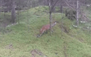 Cheeky fox runs off with motorist's keys