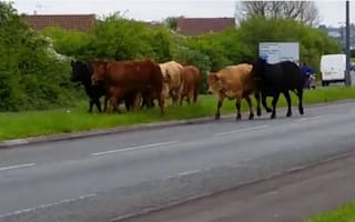 Police officer injured as escaped cows cause mayhem in Bristol suburb