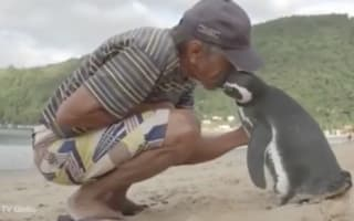 Penguin travels 5,000 miles a year to see man that saved his life