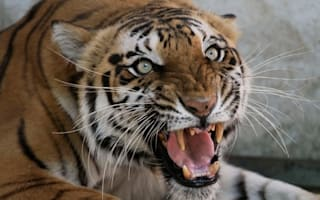 Tiger escapes German zoo and kills woman