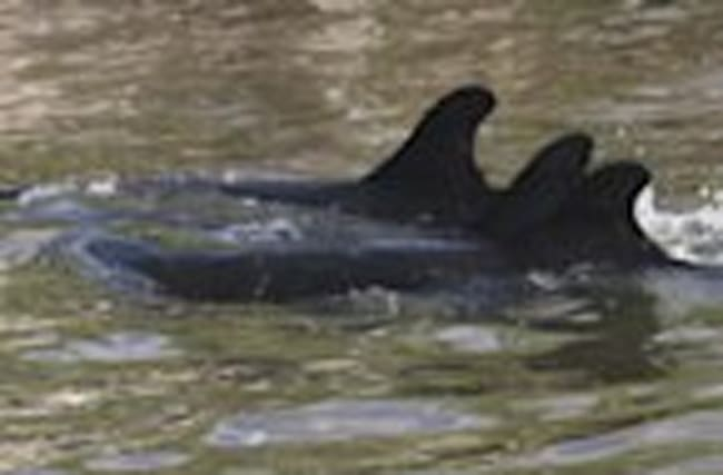 False Killer Whales Stranded in Florida