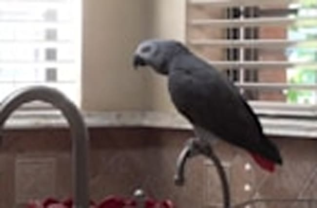 Talking parrot chants for his favorite food