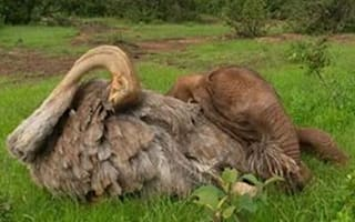 Ostrich and elephant form unlikely friendship
