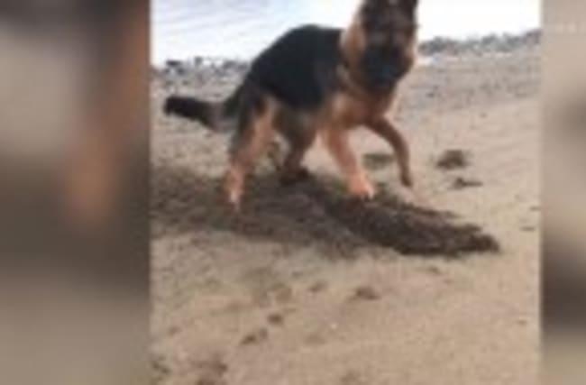 German Shepherd Digs Like Mad