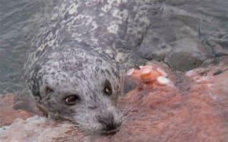 Photographer captures incredible battle between seal and giant octopus