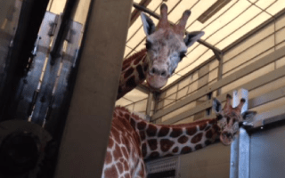 Chessington Zoo welcomes two baby giraffes