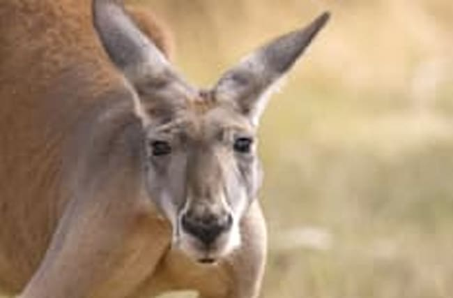 Mum wrestles kangaroo in bid to save toddler daughter