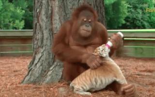 Orangutan bottle feeds tiger cubs (seriously cute video)