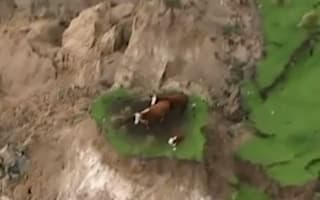 Cows stranded by New Zealand earthquakes finally rescued
