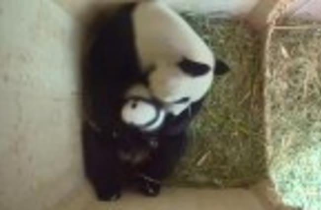 Vienna panda twins get more active