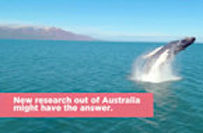 Scientists Have Discovered the Real Reason Why Whales Jump