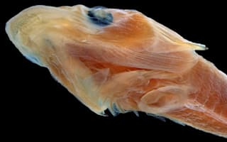 Fish with 2,000 teeth discovered