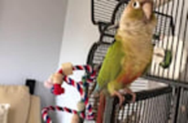 Conure sings and dances to the beat