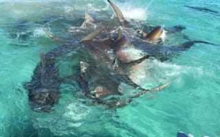 Drone footage captures tiger sharks feasting on dead humpback whale