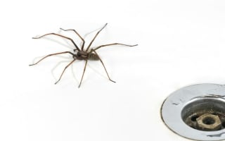 Giant house spiders invade homes as mating season begins